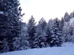 pinetreesinsnow